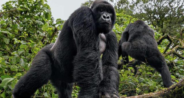 2018-2019 Gorilla Tracking Permit Price Comparing Uganda Rwanda Congo