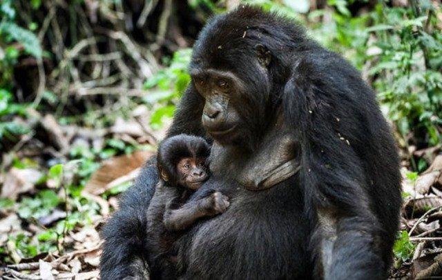 2018 Uganda Tailor-Made Safaris Gorilla tracking Uganda Rwanda