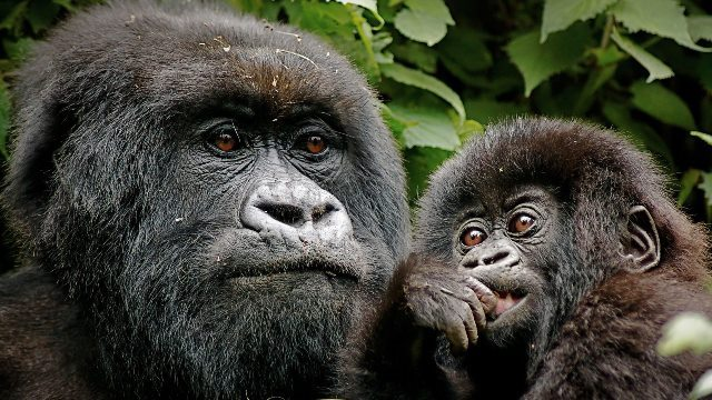 Uganda Budget Gorilla Trekking Rwanda DR-Congo Budget Safaris