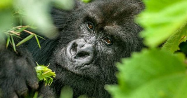 Why Fly into Kigali Rwanda, Track Uganda Gorillas Bwindi Forest