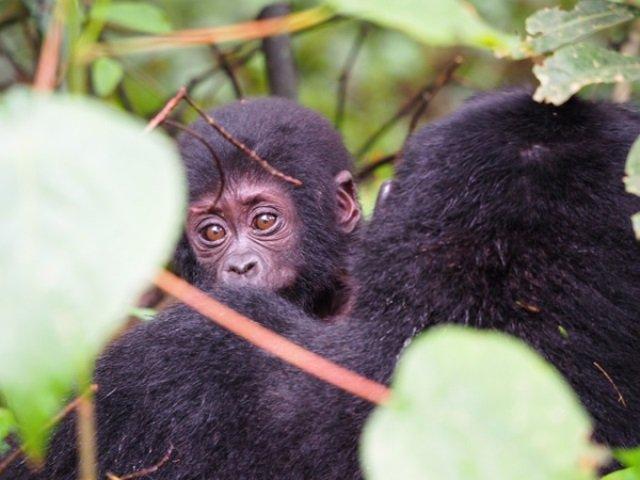 How to Book Gorilla Trekking Tour-Budget Safari Uganda Rwanda